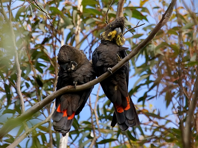 Glossy black-cockatoos are one of the species threatened by Queensland land clearing. Photo: David Cook/Flickr, CC BY-NC