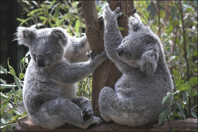 Koalas have declined 50% in Queensland over the past 15-20 years. Photo: Mike Locke/Flickr, CC BY-ND