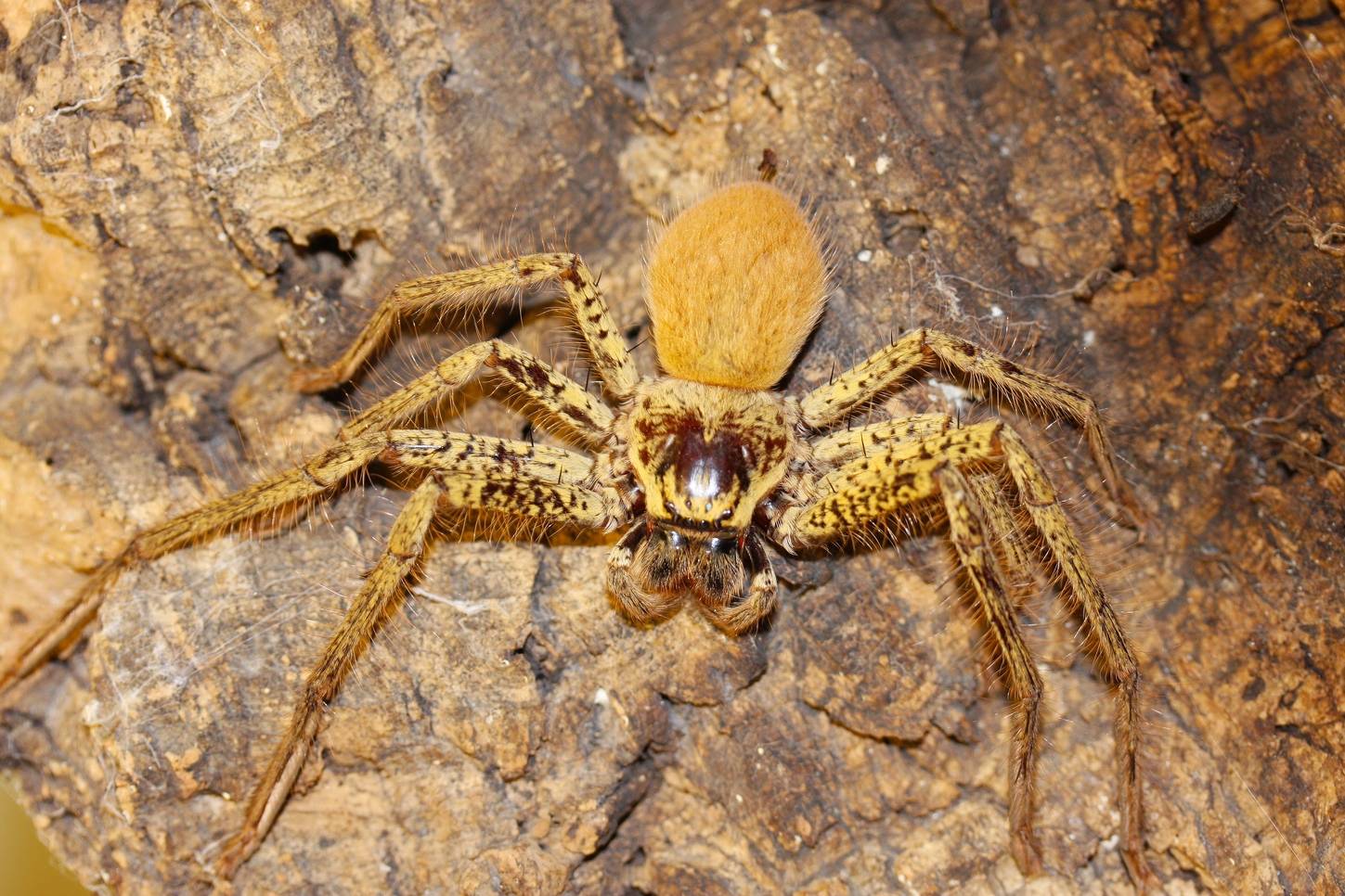 Hidden housemates: Australia's huge and hairy huntsman ...