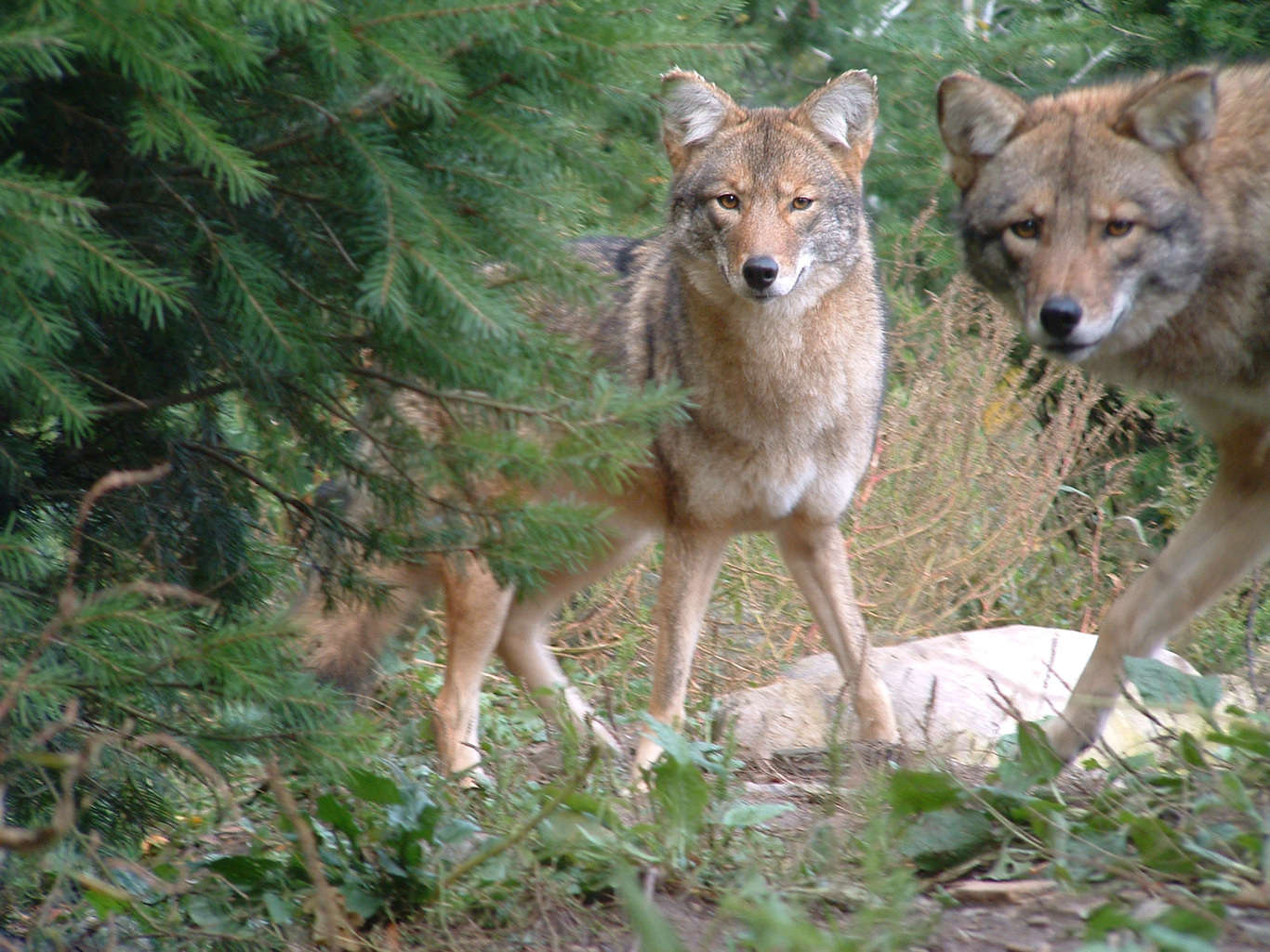 Why the eastern coyote...