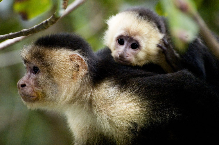 Capuchins have been known to adopt. Credit: Sang Trinh/Flickr, CC BY 4.0