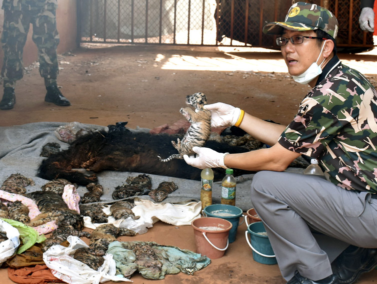 A Thai wildlife official displays carcasses of dead tiger cubs found during a raid on June 1. EPA.