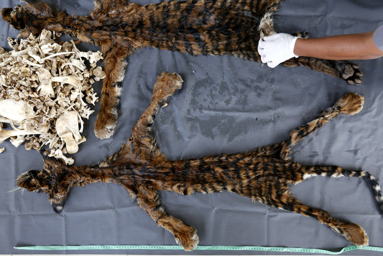 Tiger fur and bones recently seized in Indonesia. Hotli Simanjuntak/EPA