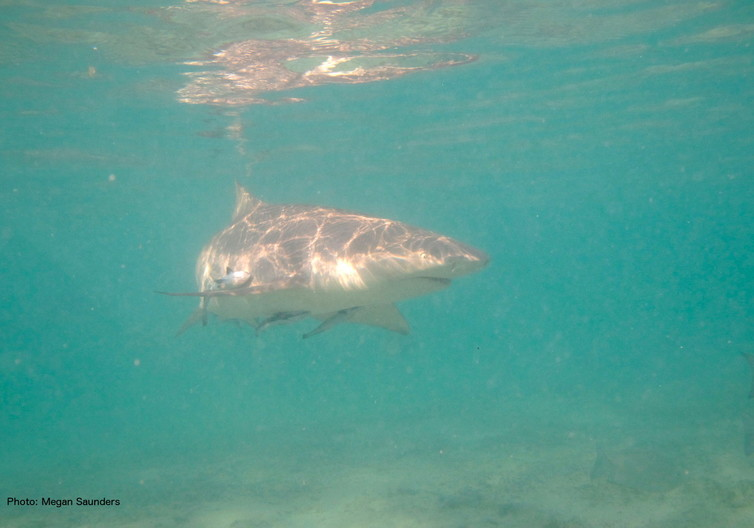 A lemon shark seeks its fish prey in the shallow waters on Australia's Great Barrier Reef. Lemon sharks are caught by our fisheries, but are not a target species. Megan Saunders