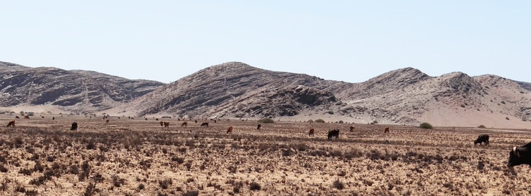 In a drought, Herero herders move their cattle to remote areas like this in Purros Conservancy.