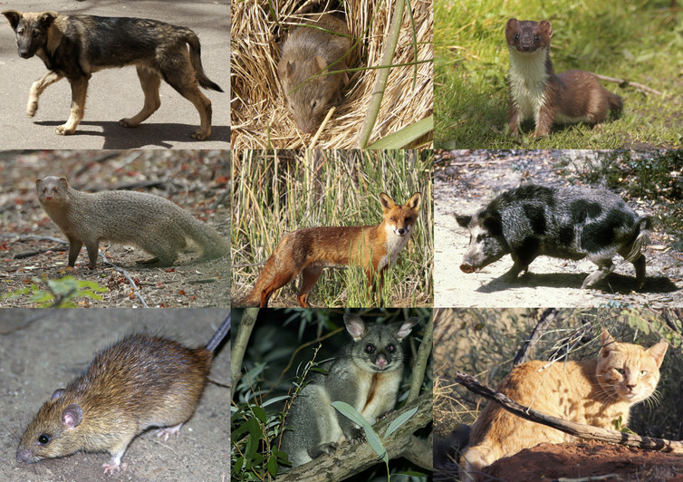 invasive predators