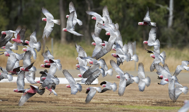 Galahs in flight in outback Queensland. Image - Shutterstock/John Carnemolla