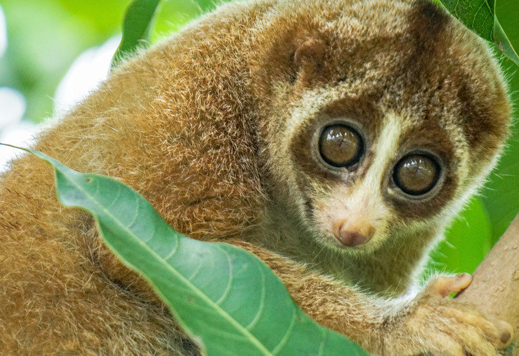 The Slow Loris, a primitive primate, is a denizen of intact rainforests in southern Asia.