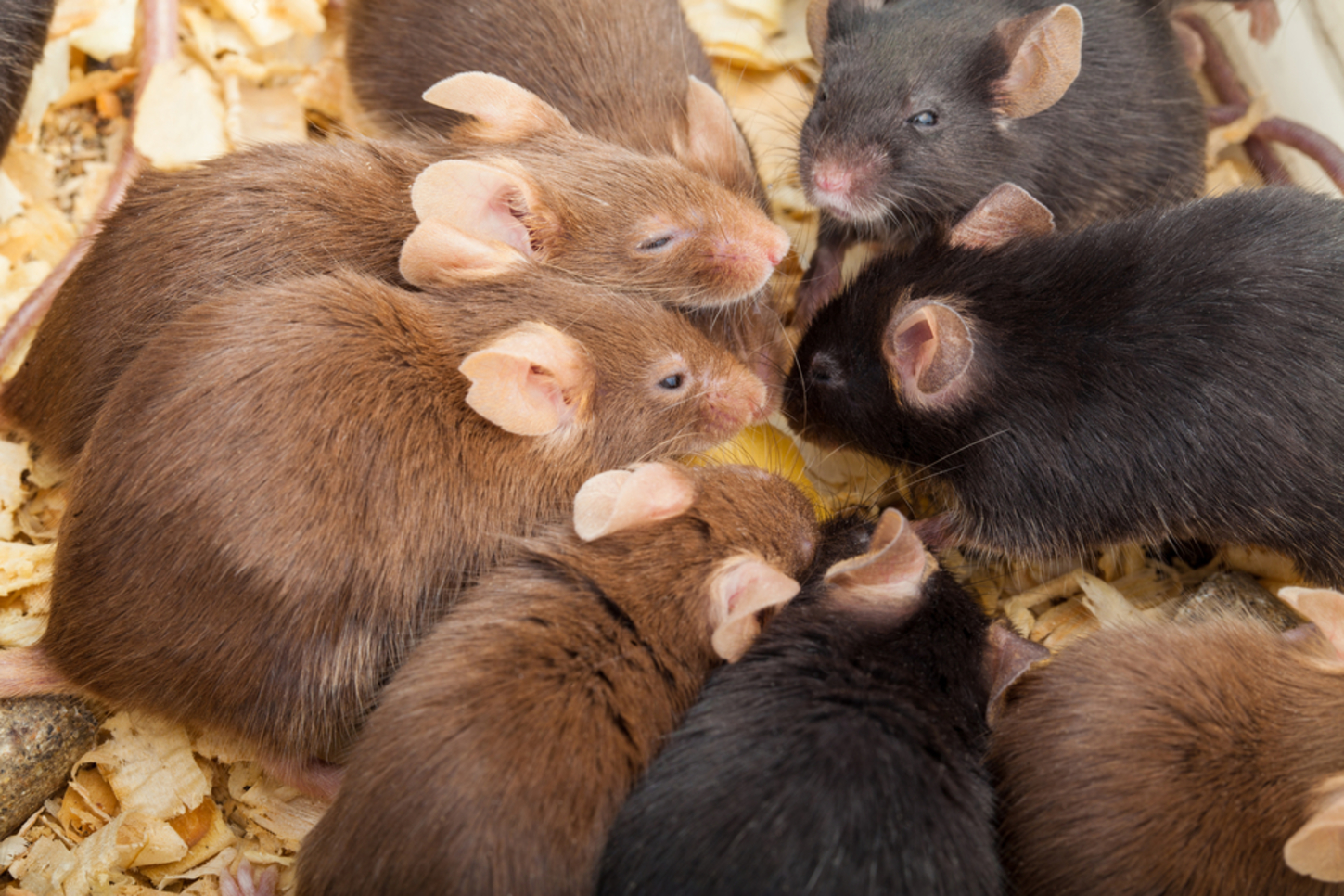 Image result for group of mice