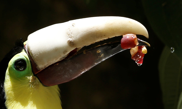 Having lost most of his upper beak in an attack, a toucan eats with his new 3D-printed beak in Costa Rica. Credit: Juan Carlos Ulate/Reuters
