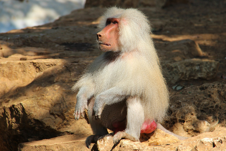 baboon sexuality penis genitals