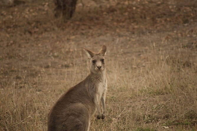 Do you even lift kangaroo - photo#20