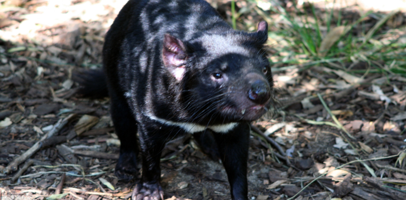 Genome Map Project Uncovers First Tasmanian Devil To Fight