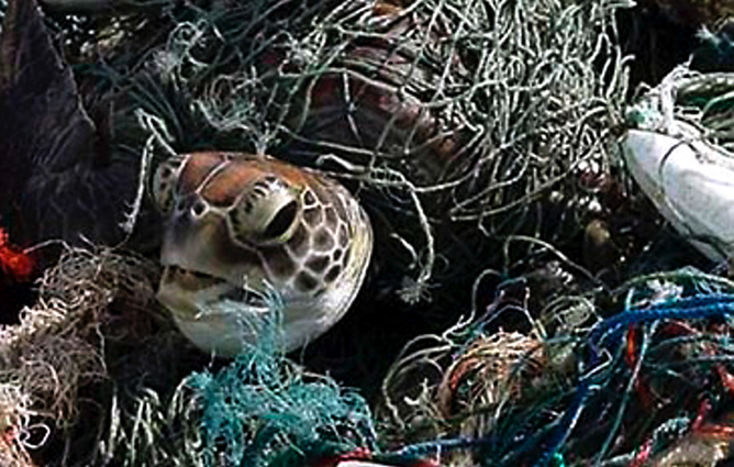 If you   re a marine turtle  your most likely cause of death is    Overfishing Nets
