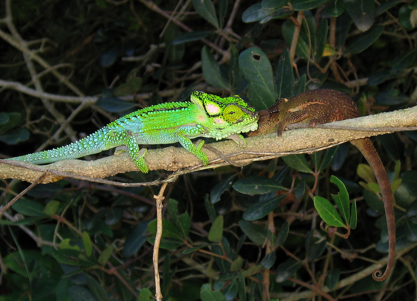 Image Result For Chameleon Changing Color