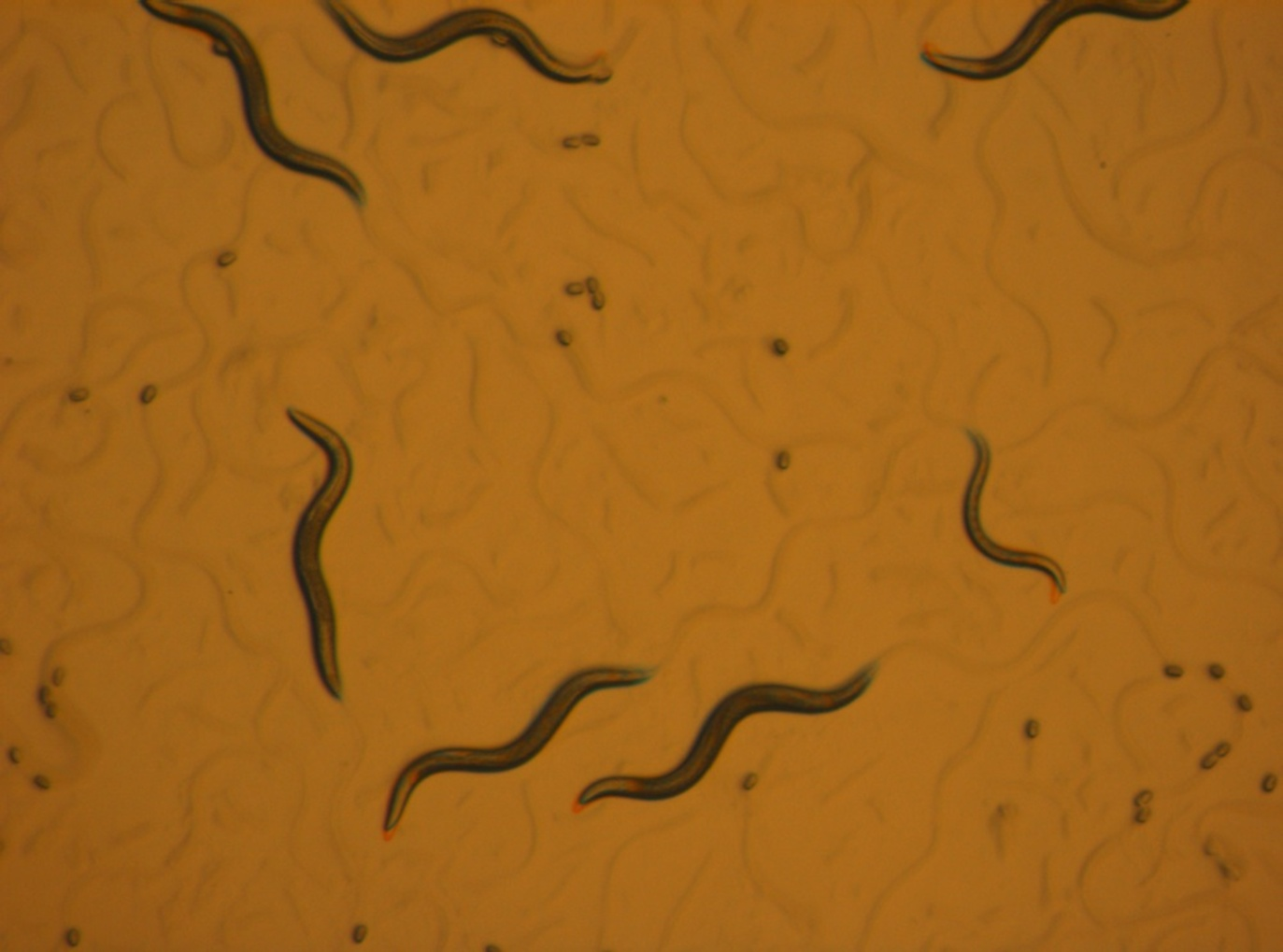 Animals In Research  C  Elegans  Roundworm