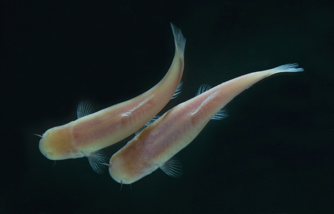 Sleeping with the fishes: Somalian cavefish shed light on ...