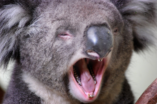 Grunt work: unique vocal folds give koalas their low ...