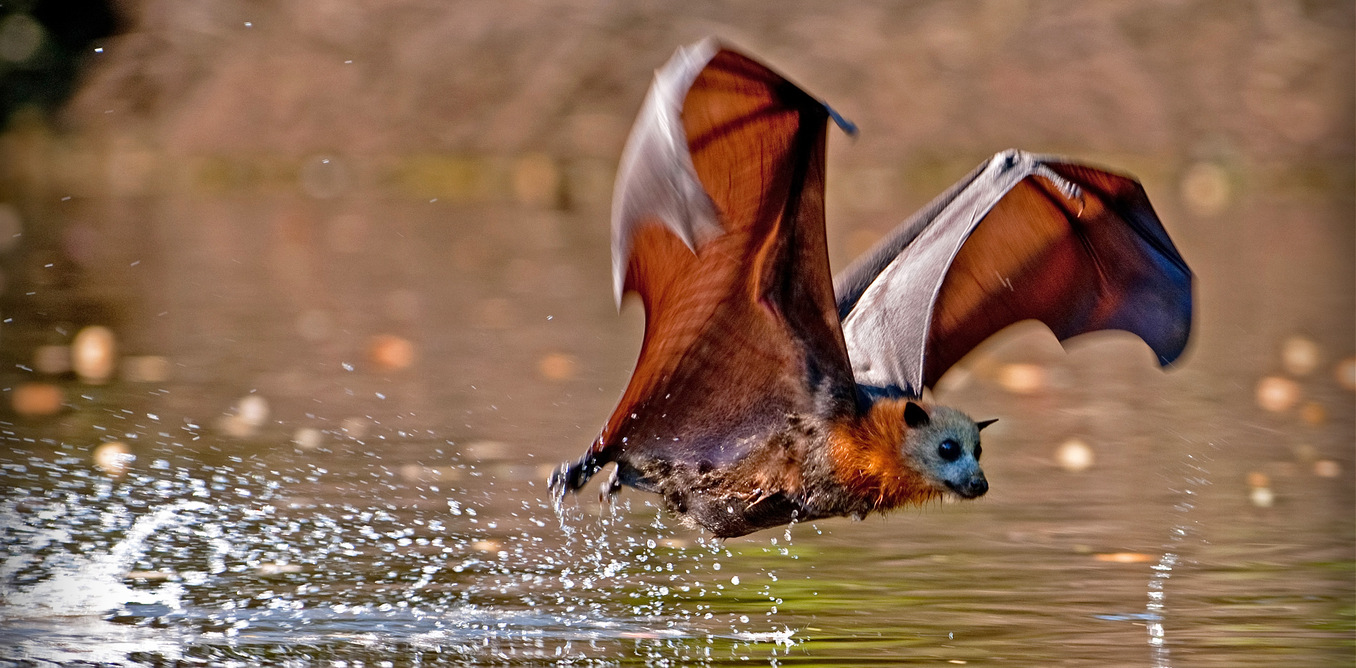 Australian Flying Fox Hands Killer climate:...