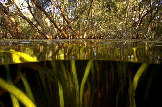 Environmental water supports key habitats for wildlife, like this flooded forest in the Macquarie Marshes, NSW. Photo: Tom Rayner
