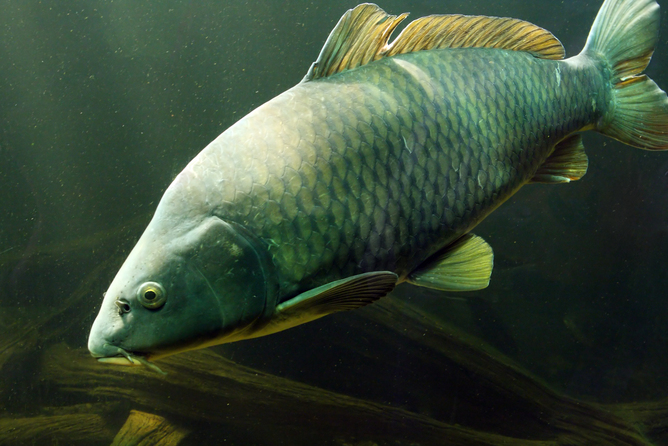 Carp have spread throughout Australia's waterways - but CSIRO is hoping to bring a new genetic weapon to bear on them. Photo: Kletr/Sutterstcok.com