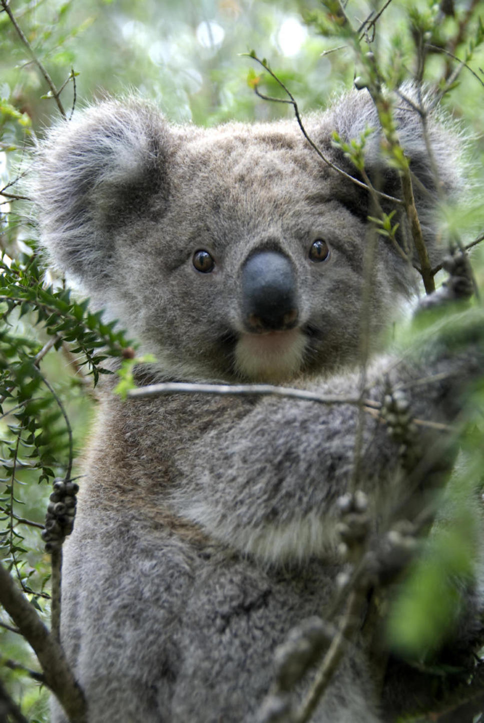 koala essay essays on koala brainia com