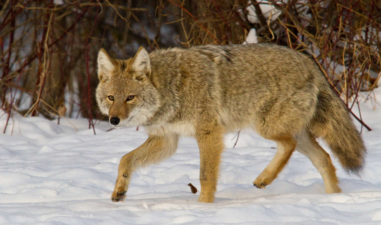 the objectives and effects of the 1995 reintroduction of wolves in canada Natural dispersal of wolves from canada  and the effects on game populations 6 second, wolves have  reintroduction in 1995 approximately.