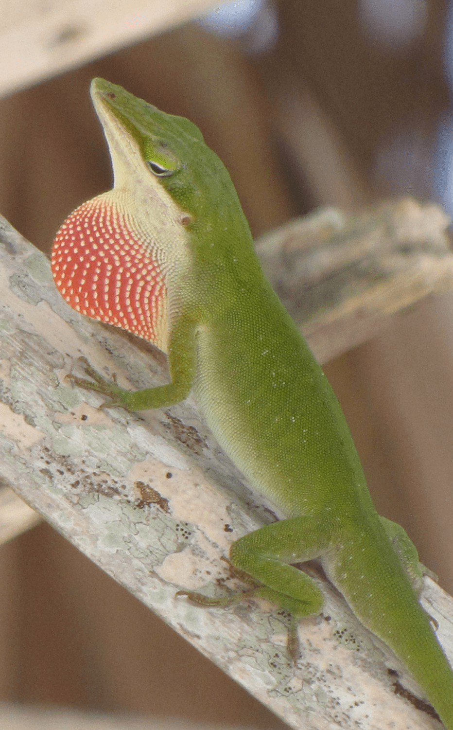 Invasive Species Trigger Rapid Evolution For Lizards In