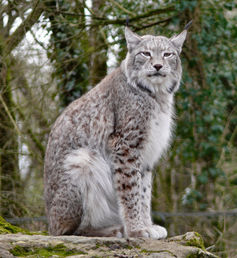 Domestic Cat Or Lost Lynx On The Trail Of The Paris Tiger