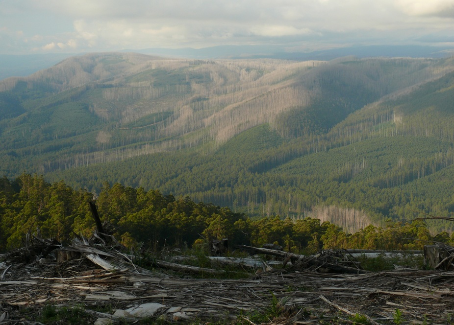 Victoria's mountain ash forests