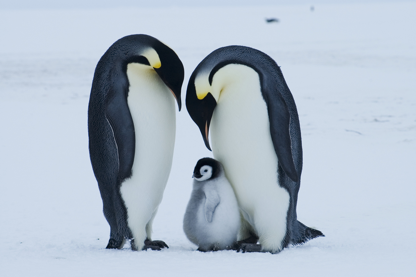 the characteristics of emperor penguins the birds of antarctic Prey of the emperor penguin is the antarctic characteristics of birds from one emperor pen- guin colony in the ross sea for this initial anal.