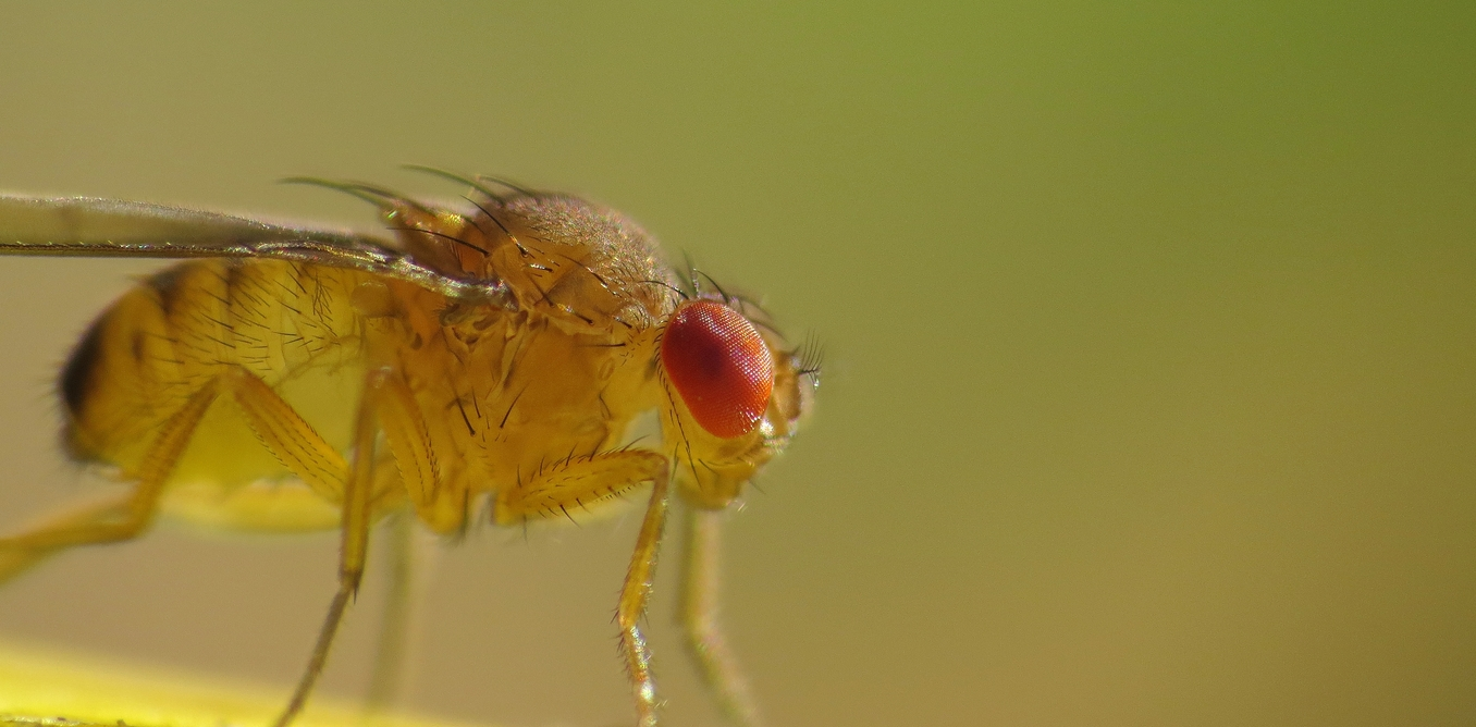 Will Irradiation Produce Mutations in Fruit Flies?