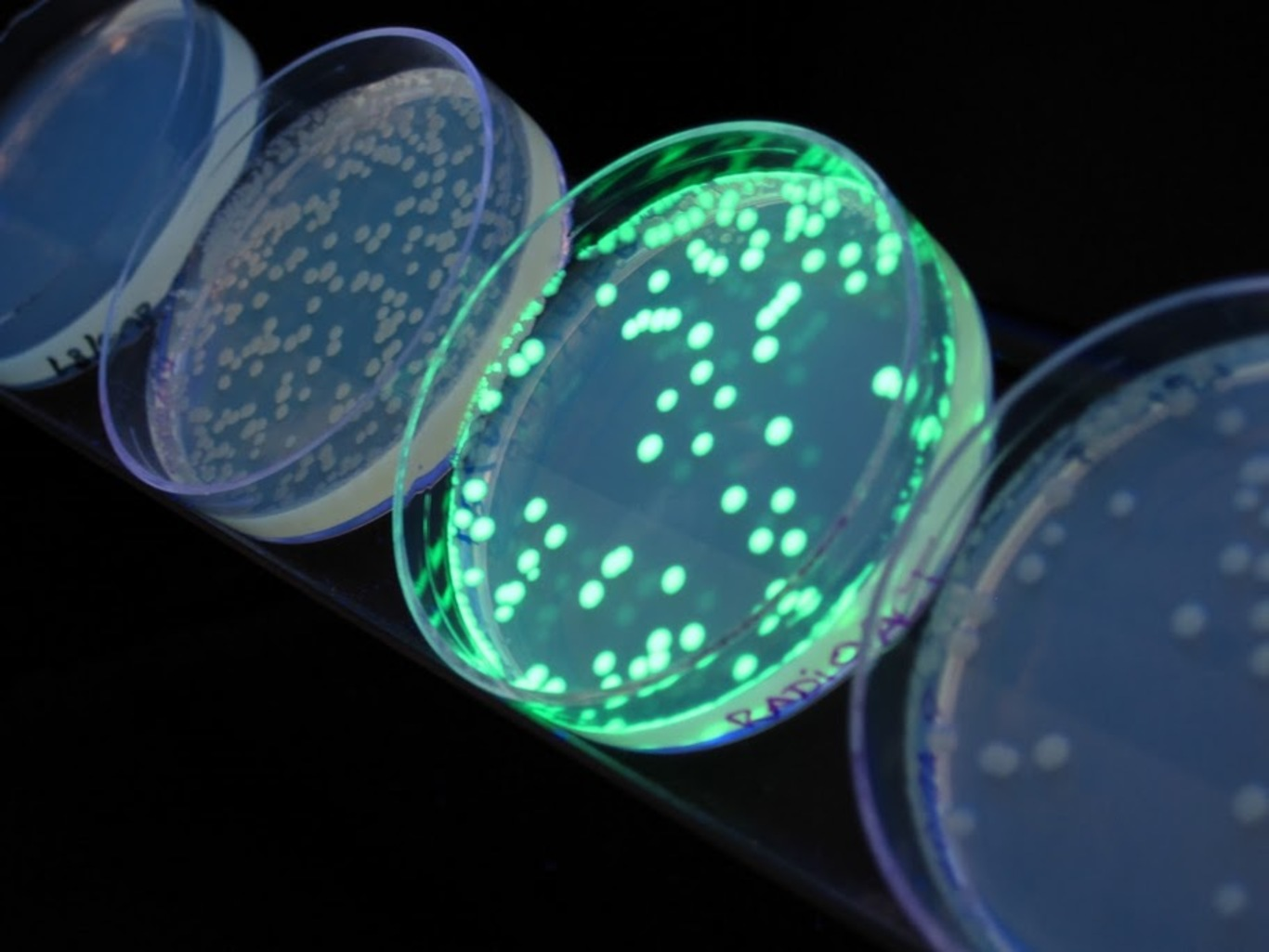 transformation of escherichia coli with pglo Rapid colony transformation of e coli with plasmid dna l aboratory 5 demonstrates a rapid method to transform e coliwith a foreign gene studies on transformation of escherichia coli with plasmids j mol biol 166.