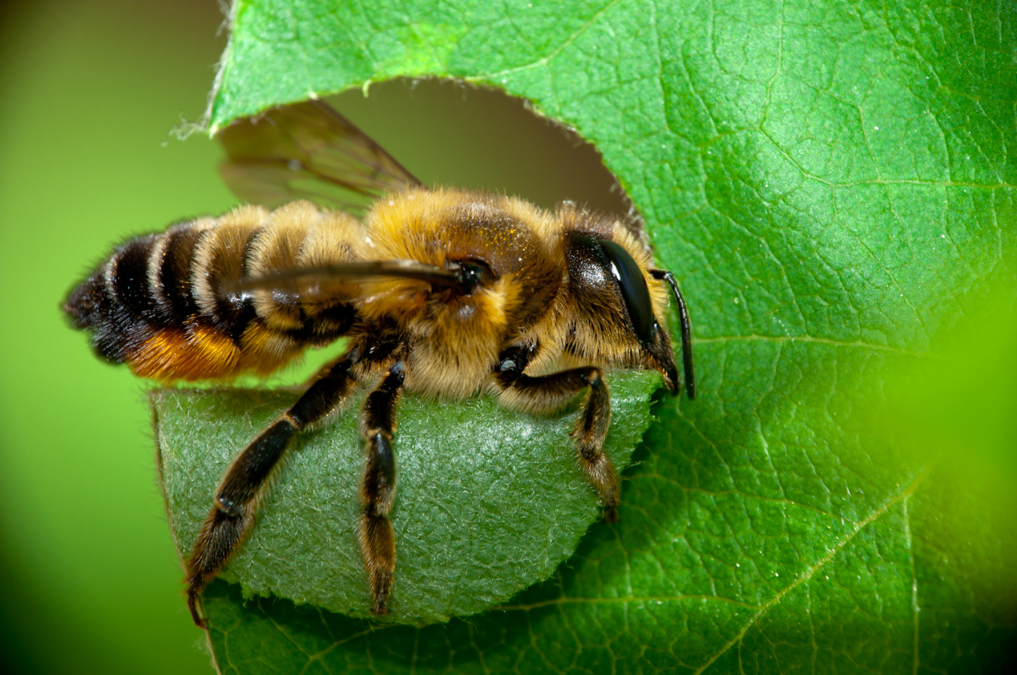Bee Sting How To Treat Naturally