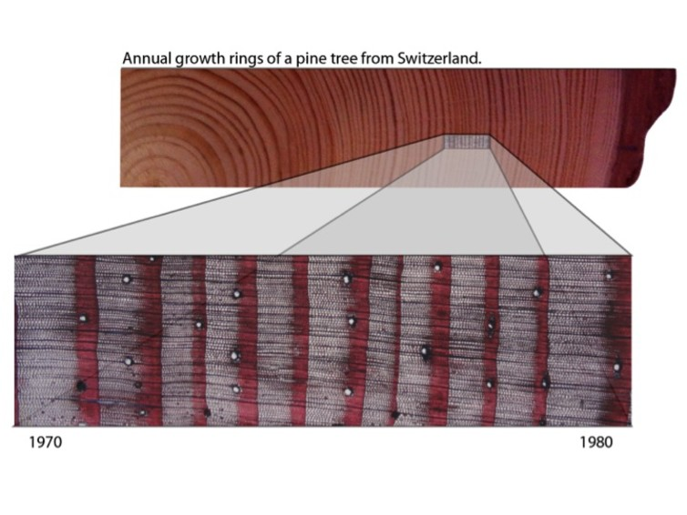 Tree rings carbon allocation photosynthesis